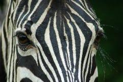 Free Zebra Eyes Stock Images - 1599944
