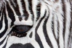 Zebra faccia a faccia Fotografie Stock Libere da Diritti