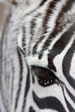 Zebra faccia a faccia Immagini Stock Libere da Diritti