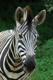 Zebra face Royalty Free Stock Photography