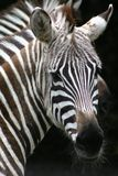 Zebra Face. Zebra with a hairy chin in black and white Royalty Free Stock Photo