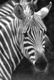 Zebra Face Stock Photography