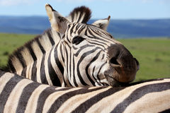 Zebra Face. A beautiful African zebra rests on her friends back in the hot South African sun Royalty Free Stock Images