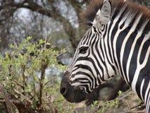 Zebra face Stock Image