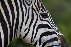 Zebra face profile stripes Stock Images