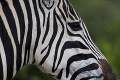 Zebra face profile stripes Stock Images