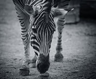 Zebra Face Stock Images - Download 3,080 Royalty Free Photos