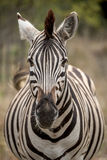 Zebra Face. A zebra looking directly into the camera Royalty Free Stock Photo