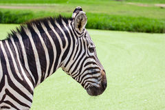 Zebra face Royalty Free Stock Photo