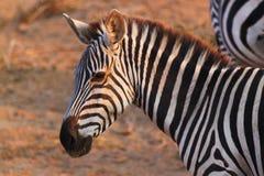 Zebra Face - Safari Kenya Stock Images