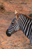 Zebra Face - Safari Kenya. A very expressive zebra face, in Kenya Stock Photography
