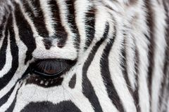 Zebra face to face Royalty Free Stock Photos