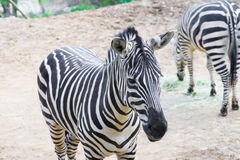 A Zebra faces forward while the other eats in the background Stock Photo