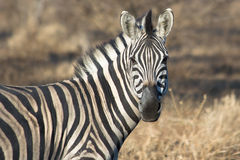Zebra facing. A zebra faces the photographer during the African winter Royalty Free Stock Images