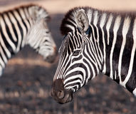 Zebra with faded zebra background Stock Images