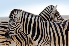 Zebra-Familie stockfotografie