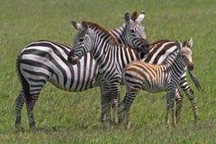 Zebra-Familie Stockbilder