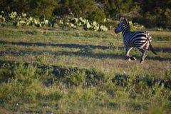 Zebra-Familien-Betrieb lizenzfreie stockfotos