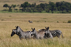 Zebra familiy in the grasslands of Masai Mara. Common or plains zebra, Masai Mara National Reserve, Kenya, East Africa Royalty Free Stock Photos