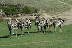 Zebra family Stock Photos
