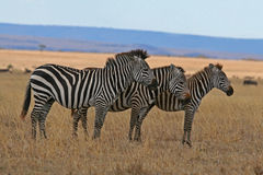 Zebra Family. Father, Mother, and Child lined up on plains of Masai Mara, Kenya Stock Photography