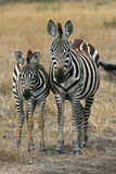 Zebra Family. Plains zebra family mother and foal Stock Images