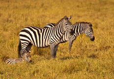 Zebra Family. Zebras enjoying the savanna in Kenya Royalty Free Stock Photos