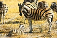Zebra family. In Namibia meadow Stock Photos