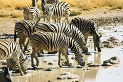 Zebra family. In Namibia meadow Royalty Free Stock Image