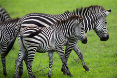 Zebra family. A high resolution image of a zebra pattern Royalty Free Stock Photography