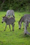 Zebra family Royalty Free Stock Image