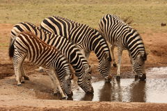 Zebra family. Royalty Free Stock Image