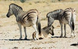 Zebra family with colt stock photos