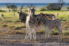 Zebra family at Etosha National Park Stock Photography