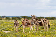 Zebra family on a field with yellow flowers Royalty Free Stock Photos