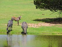 Zebra Family. This zebra family goes down to the water together for a refreshing drink of water royalty free stock image