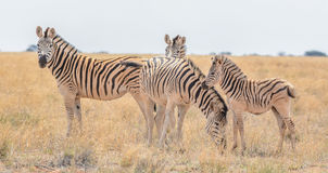 Zebra family group Royalty Free Stock Images