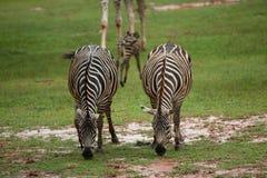Zebra family group in grassland Stock Photos
