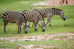 Zebra family group in grassland Royalty Free Stock Photography