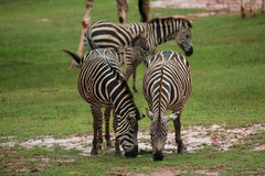 Zebra family group in grassland Royalty Free Stock Photos
