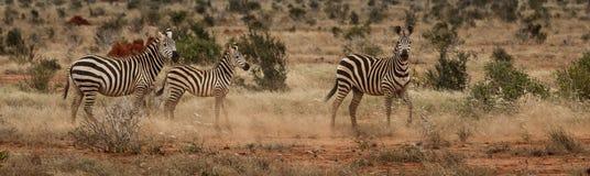 Zebra Family. Photo from a Safari in Tsavo East National Park, Kenya stock images