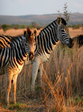 Zebra family portrait. In game reserve with beautiful mane. Mother and son, or mother and daughter. Punk hairstyle/ mane royalty free stock photos