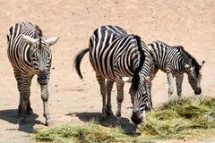 Zebra family. The Safari Park. Striped Zebra on vacation. Nature with wild animals. Wildlife Royalty Free Stock Photo