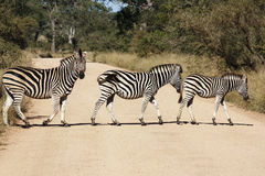 Zebra family. Three zebra crossing a gravel road in the Kruger Park Stock Photography