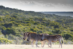 Zebra family walking together to the dam Stock Photos