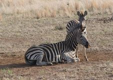 Zebra Family Royalty Free Stock Image