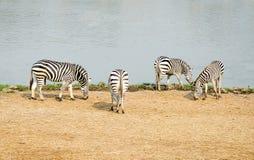 Zebra family Stock Photos