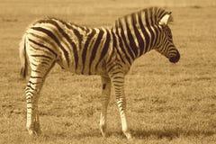 Zebra Fawn Stock Image