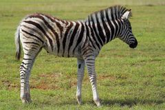 Zebra Fawn. On the grass plains of Africa Royalty Free Stock Images