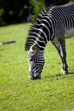 Zebra feed on grass Royalty Free Stock Photo